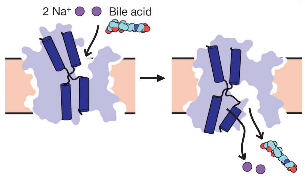 Structure Function Of The Bile Acid Transporter Nysbc